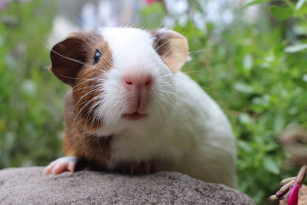 General  Information About Guinea Pigs