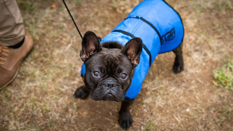"""5 Reasons your French Bulldog is a goal for """"Dog nappers"""""""