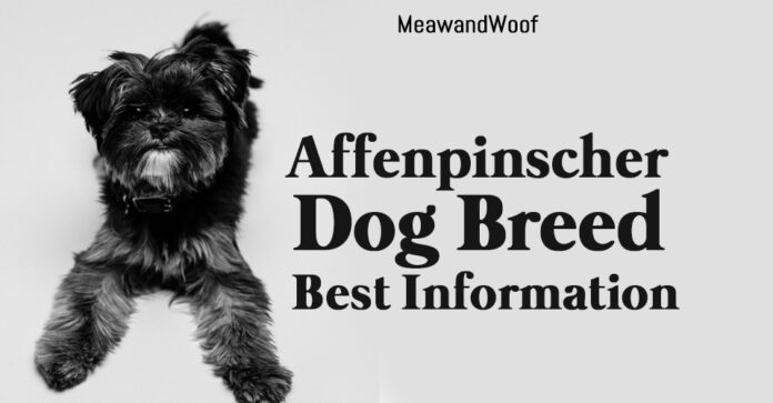 Affenpinscher Dog Breed Best Information