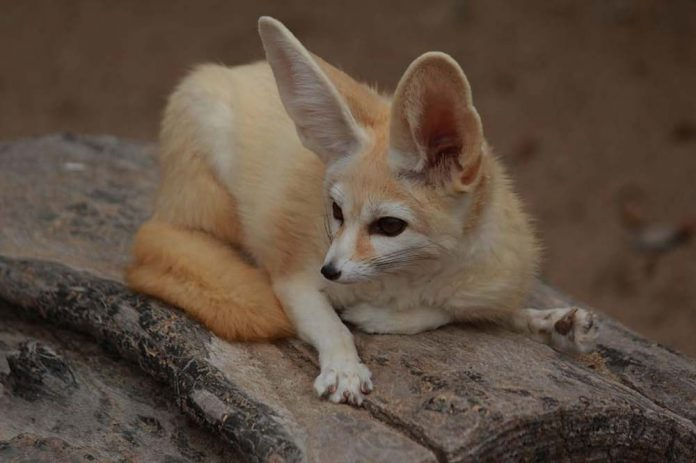 Are fennec foxes endangered? How lots of them are left within the wild?
