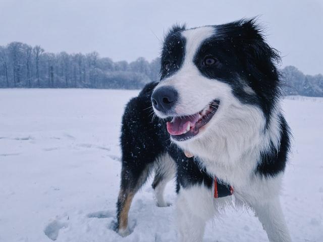 Australian Shepherd Dog Breed Information to Know