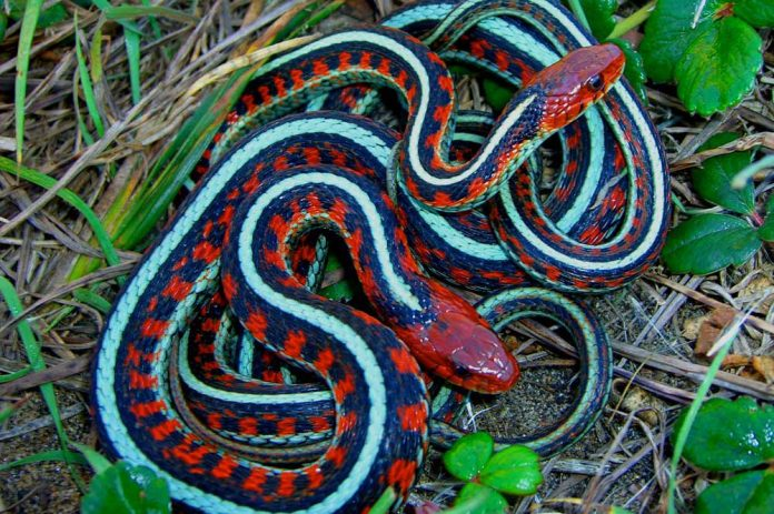 California red-sided garter snake information (Are they toxic?)
