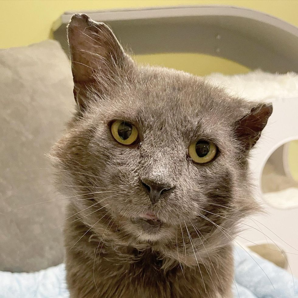 """Cat with """"Tough Guy Look"""" Turns Out to Be the Sweetest Teddy Bear"""