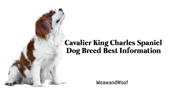 Cavalier King Charles Spaniel Dog Breed Best Information