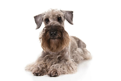 Cesky Terrier Dog Diets Supplements