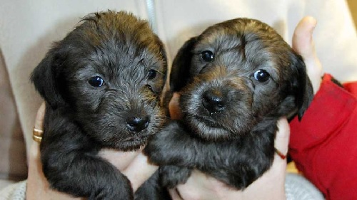 Cesky Terrier Dog Puppies