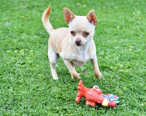 Chihuahua Dog Training