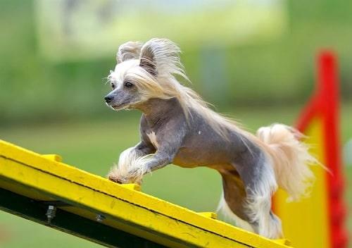 Chinese Crested Dog Behavior