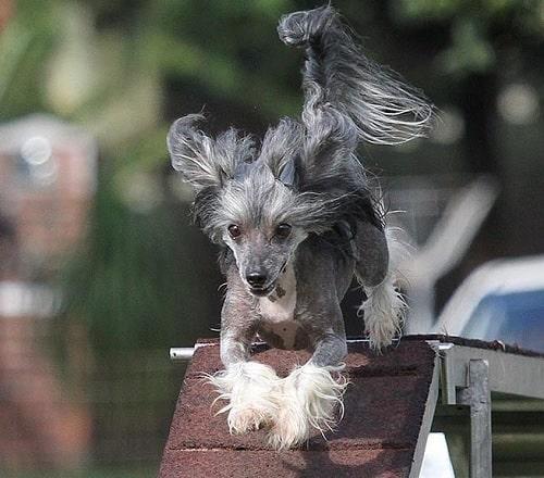 Chinese Crested Dog Training