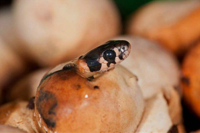 Do all snakes lay eggs? How do they lay eggs?