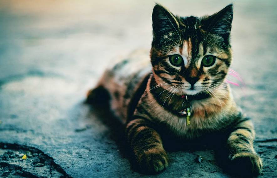 Do Cats Really Make Good Pets? Learn About Cats 2021