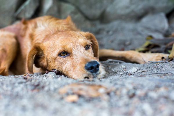 Dognapping: How to Protect Your Dog and How to Get Your Dog Back If He's Stolen