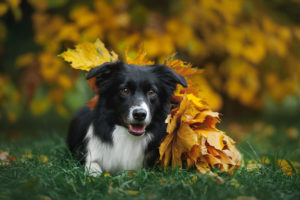 Four Tips When It Comes to Grooming a Border Collie