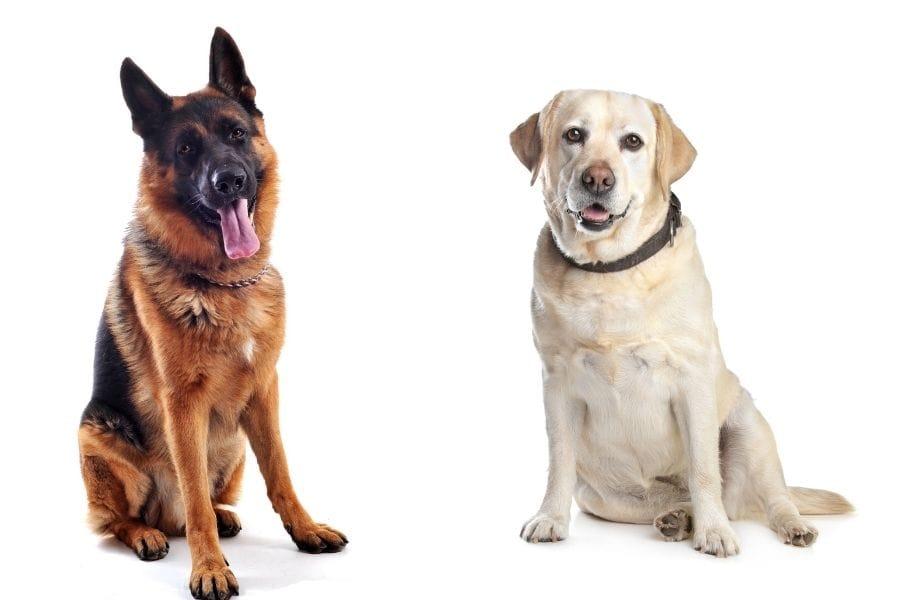 German Shepherd vs Labrador Retriever