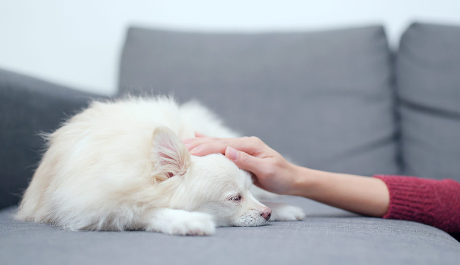 How resveratrol may also help canine with persistent ailments