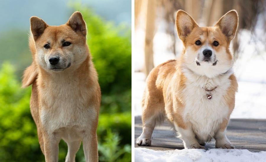 Shiba Inu vs Corgi: How Do These Canines Compare?