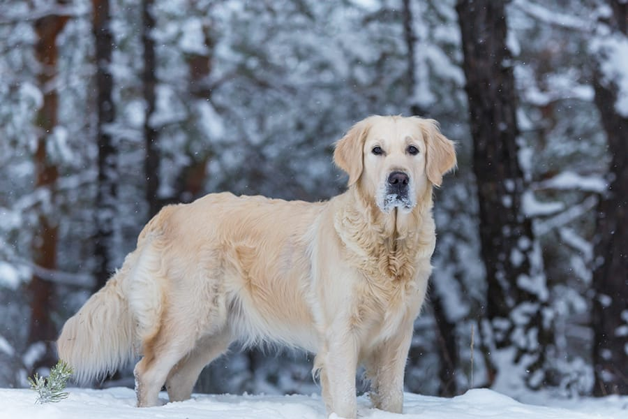 Swedish Dog Names – 135+ Cool and Cultured Ideas