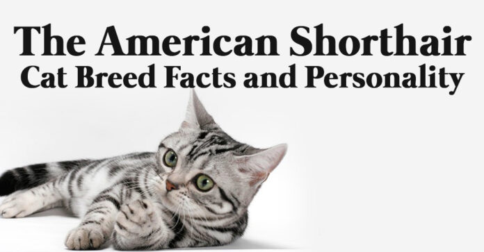 The American Shorthair Cat Breed Facts and Personality