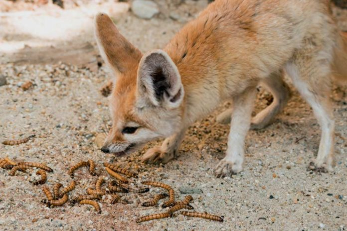 What does a fennec fox eat? Can they eat cat and pet food?