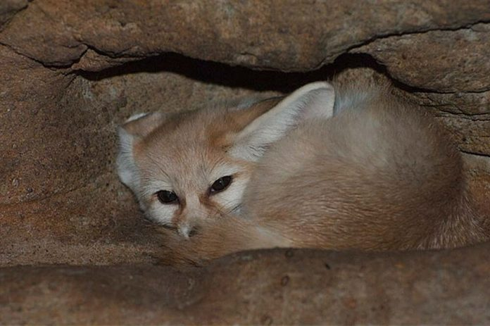 Where does the fennec fox reside? (Fennec fox habitat)