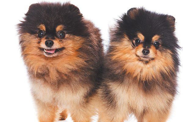 A Quintessential Toy Dog — The Pomeranian