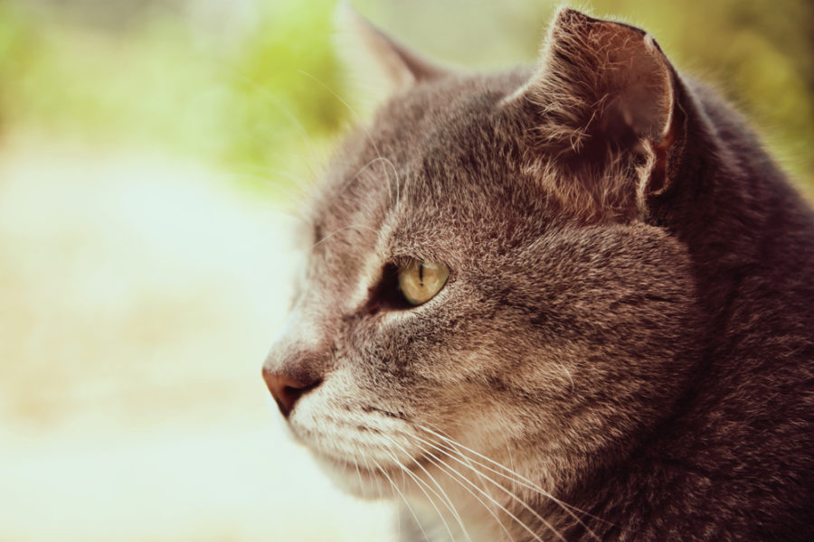 Caring for the arthritic cat