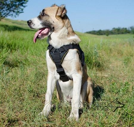 Central Asian Shepherd Dog Training