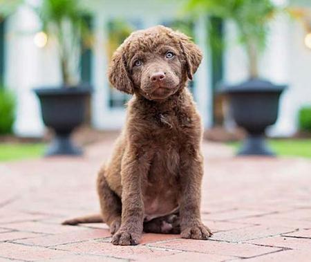 Chesapeake Bay Retriever Dog Training