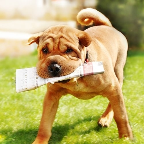Chinese Shar-Pei Dog Training