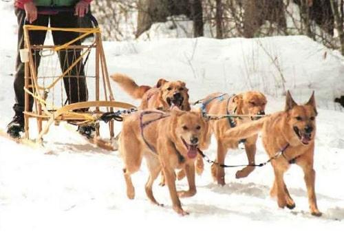 Chinook Dog Behavior
