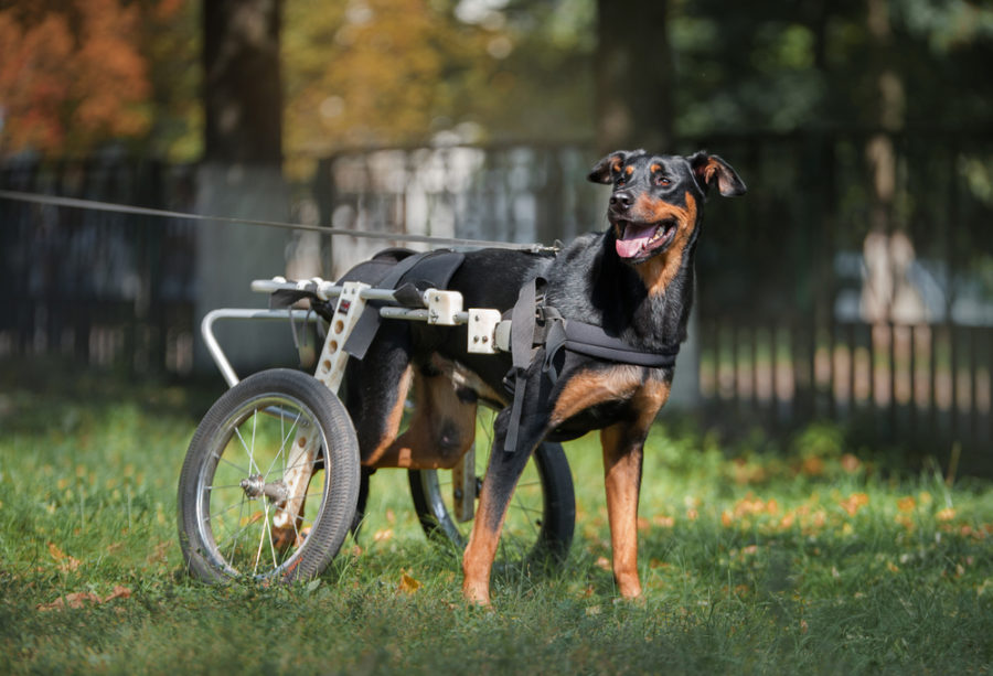 Choosing a wheelchair for a canine with mobility points