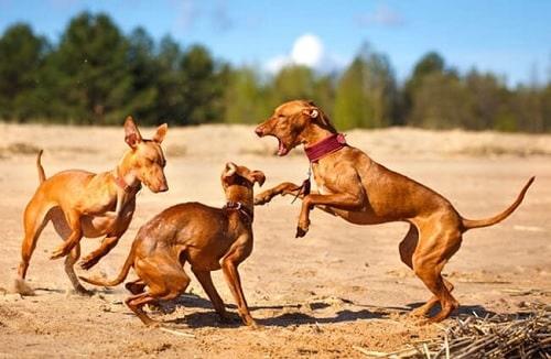 Cirneco dell'Etna Dog Behavior