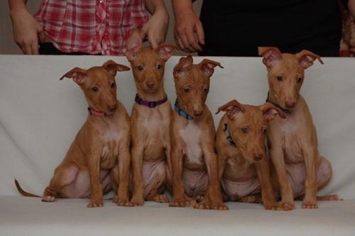 Cirneco dell'Etna Puppies