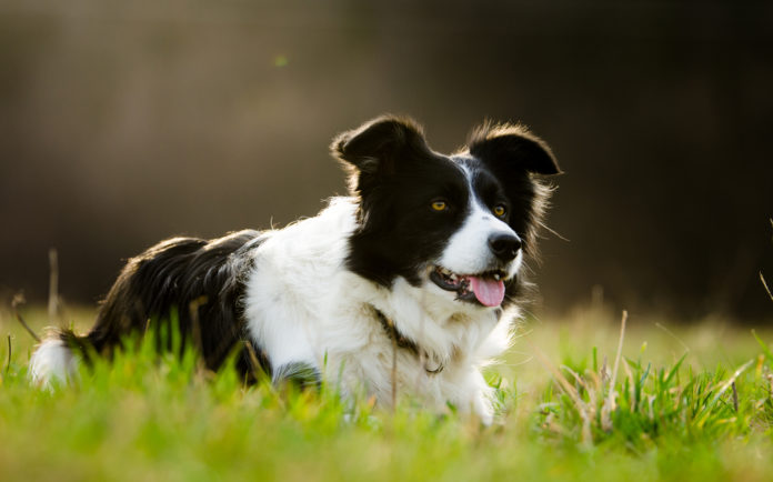 Is a herding dog right for you?