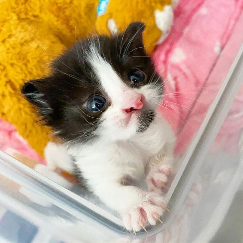 Kitten Found in Car Engine Has the Most Precious Face and is So Happy to Be Cared for