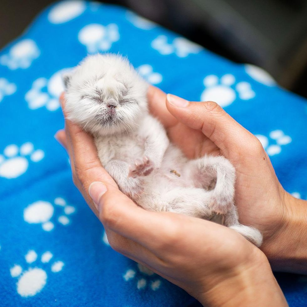 Kitten with Cutest Grandpa Face Determined to Win Everyone Over with His Charm