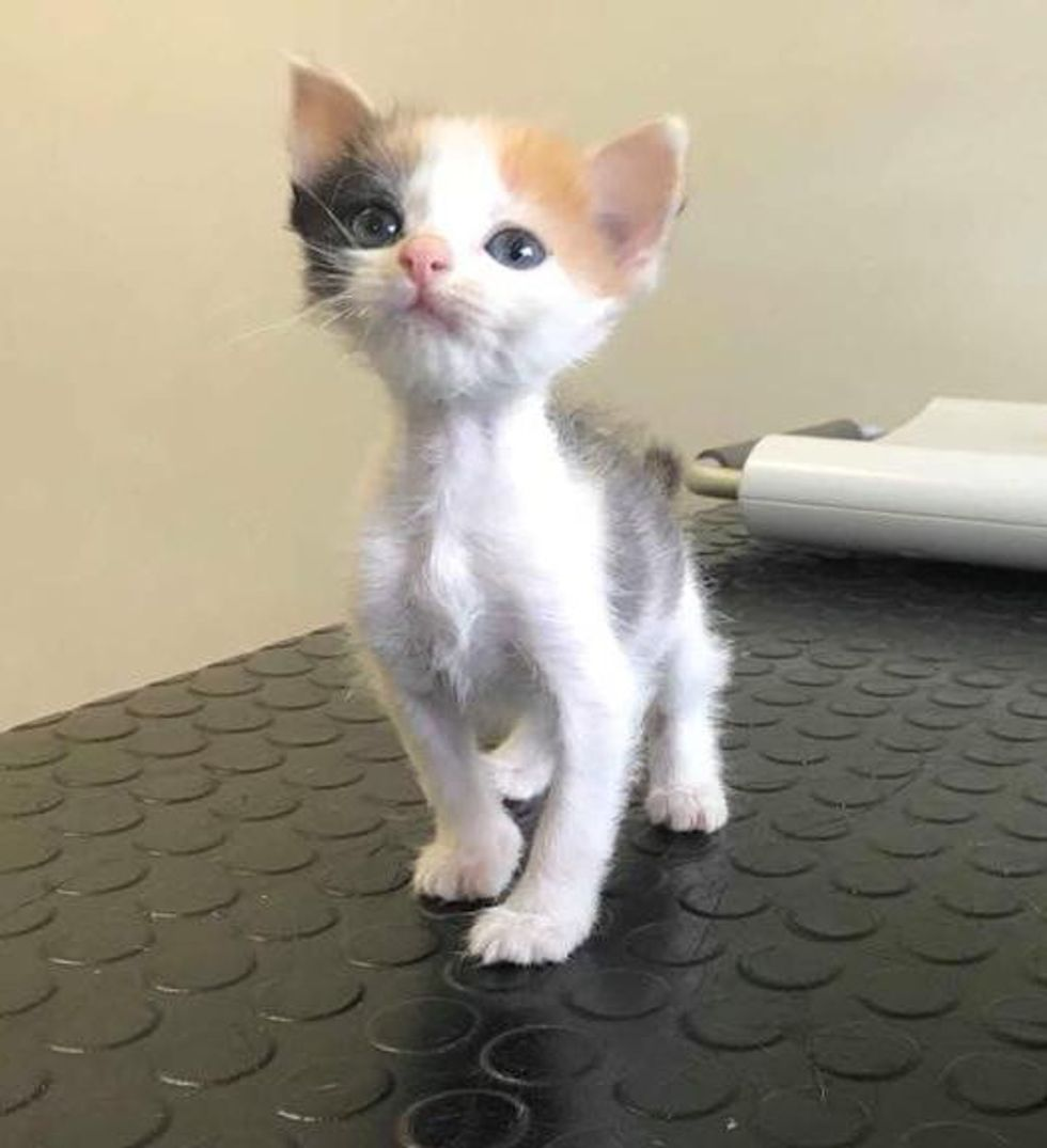 Kitten with Small Body however Strong Will to Live Transforms into Gorgeous Calico Cat