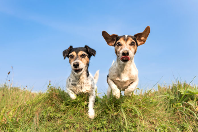 Prioritizing muscle health in senior dogs