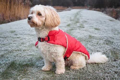 Cavachon Dog Training