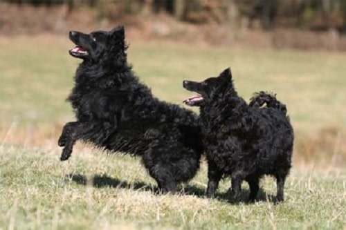 Croatian Sheepdog Diets & Supplements