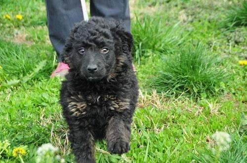 Croatian Sheepdog Puppies