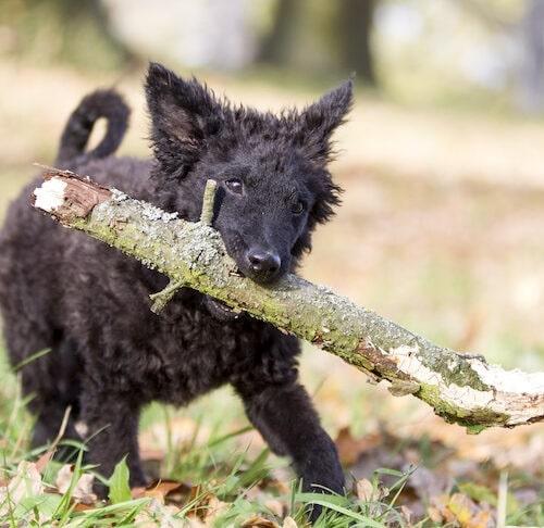 Croatian Sheepdog Training
