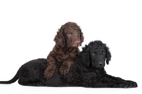 Curly-Coated Retriever Diets and Supplements