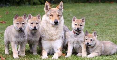Czechoslovakian Vlcak Puppies