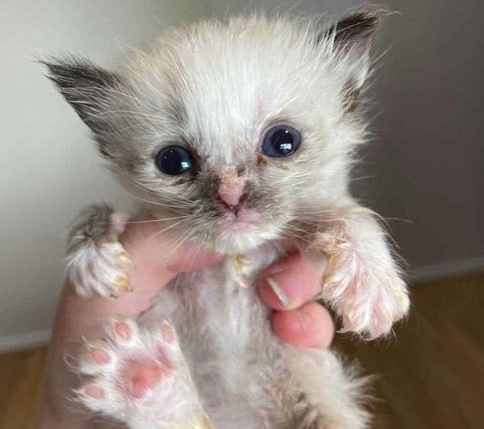 "Pint-sized Kitten ""Glowing Up"" into Gorgeous Siamese After Being Brought Back to Life"