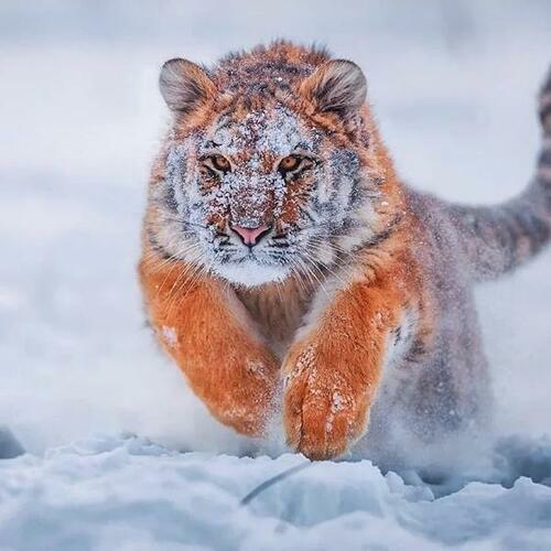 Purrsday Poetry: Siberian Tiger