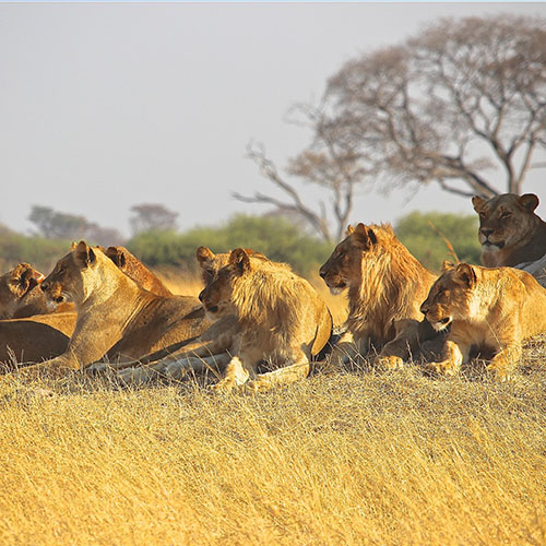 WeQare: Update About The Seven Rescued Lions To Their Natural Habitat For Free