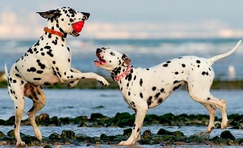 Dalmatian Training
