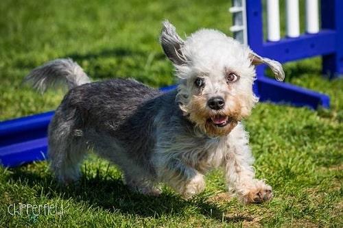Dandie Dinmont Terrier Training