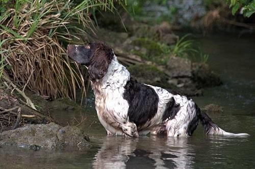 Deutscher Wachtelhund Training